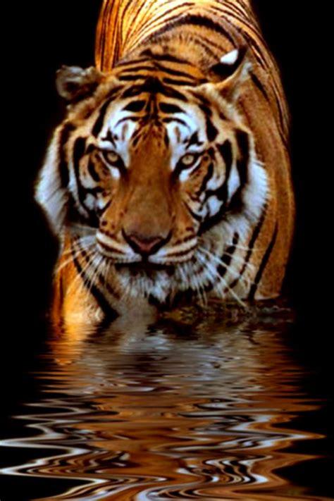 Wallpaper Iphone 6 Tiger | tiger iphone wallpaper hd