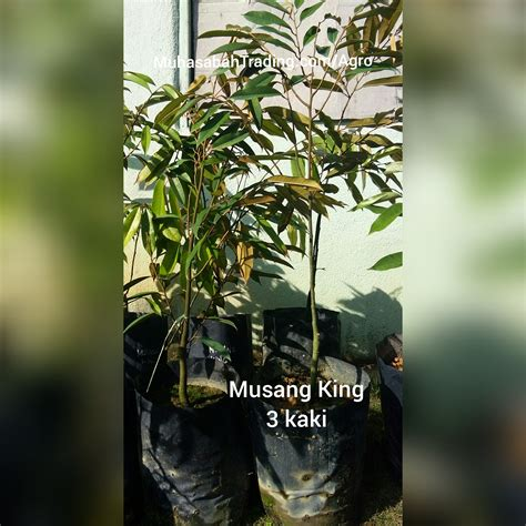 Benih Durian Musang King Untuk Dijual durian musang king muhasabahtrading dot