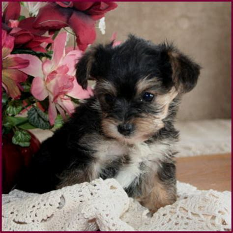 yorkie poodle puppies for sale we do not breed multi generational dogs as we no desire to breeds picture