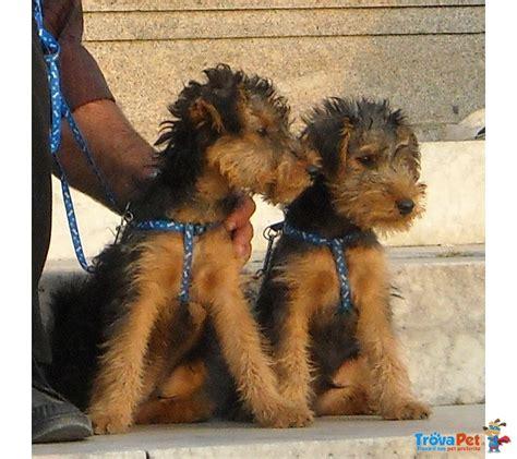 Terrier In Appartamento by Cuccioli Di Welhs Terrier Cercano Casa In Vendita A San