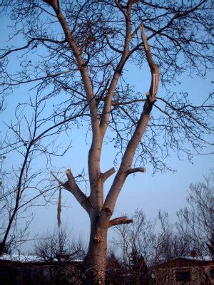richtig baum fällen 4258 nussbaum f 228 llen 187 gartenbob de der gartenratgeber