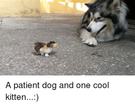 Cool Dog Meme - a patient dog and one cool kitten dogs meme on sizzle