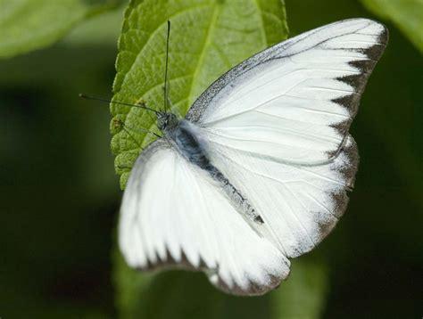 imagenes de mariposas blancas volando mariposas y su significado renace