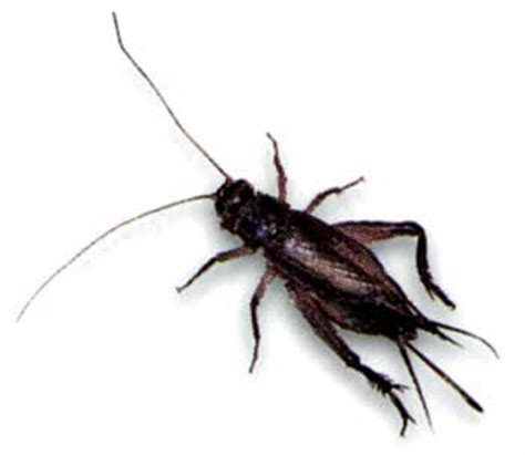 crickets in the house bed bugs spray pest busters birmingham how to get rid of crickets outside my house