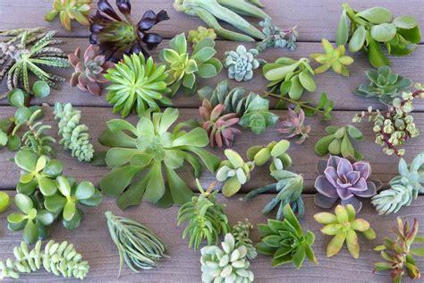 100 plant pots for sale yard art assortment flower cuttings assorted succulents succulents for sale bulk