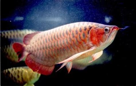 Tutup Pipa Untuk Filtrasi Aquarium pay blog quot s perawatan aquarium untuk arwana