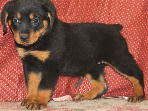 rottweiler puppies for sale in glasgow rottweiler puppies redy glasgow dogs for sale puppies for sale glasgow 680431