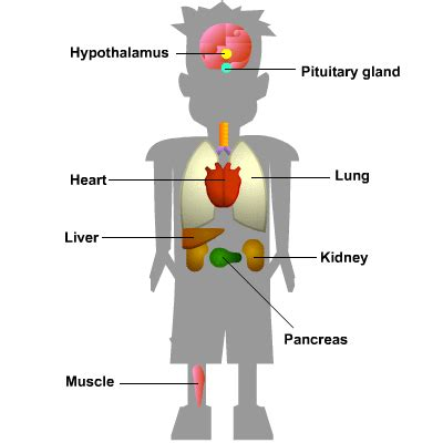 in diagram and pituitary gland   get free image about