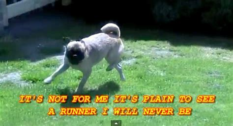 the pug who can t run loca the pug who can t run