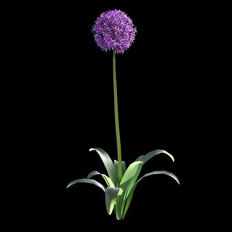 garlic flower garlic flower www pixshark images galleries with a