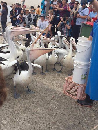 pelican feeding (labrador): top tips before you go (with