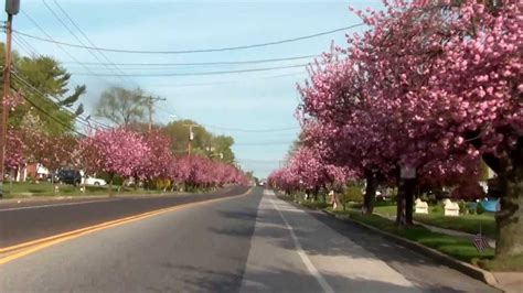 cherry blossoms in cherry hill nj
