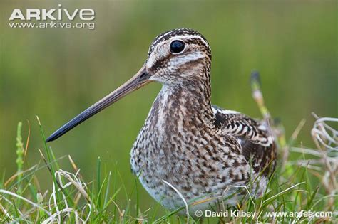 snipe bid common snipe photos and facts gallinago