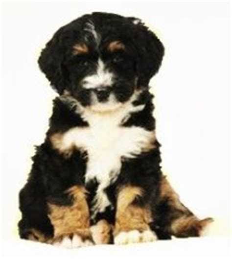 mini bernedoodle puppies for sale miniature bernedoodle breeders with puppies for sale the miniature bernedoodle is a