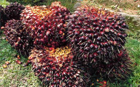 Bibit Kelapa Sawit memilih bibit kelapa sawit unggulan edi bukit
