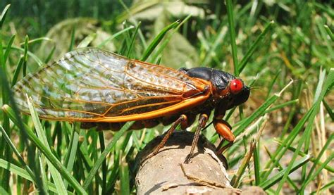 17 in years 17 year cicadas will return to ohio in 2016 farm and dairy
