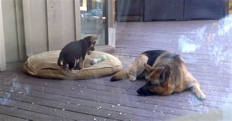 puppy nap german shepherd puppy refuses to take a nap now s reaction