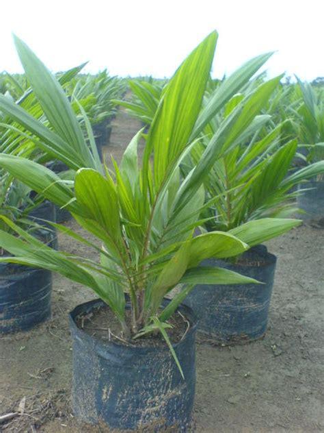 Bibit Kelapa Sawit penyakit pada pembibitan kelapa sawit distributor dan