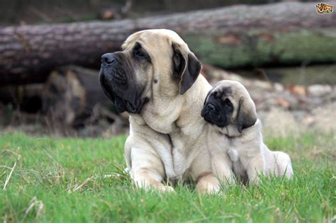 doge puppy more about mastiff dogs and their traits pets4homes