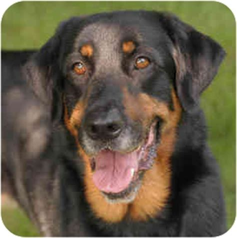 setter rottweiler mix tucker adopted chicago il rottweiler setter unknown type mix
