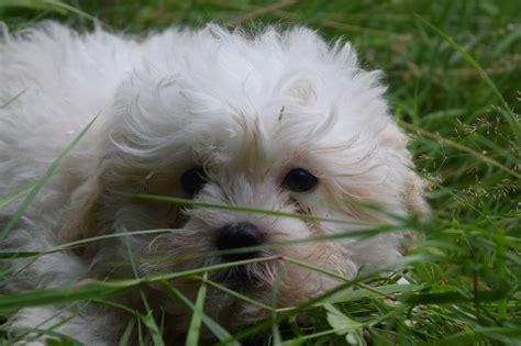 cavachon puppies price f1 cavachon puppies price reduced birmingham west midlands pets4homes