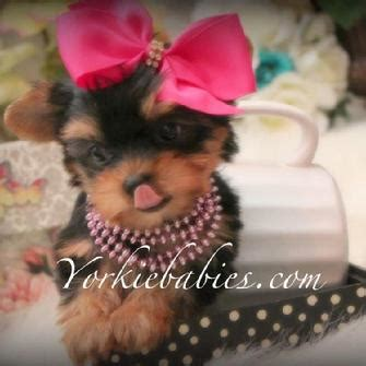 puppies financing available yorkiebabies