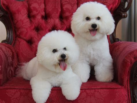 Bichon Frise Also Search For Bichon Frise For Sale By Myra Friedman American Kennel Club