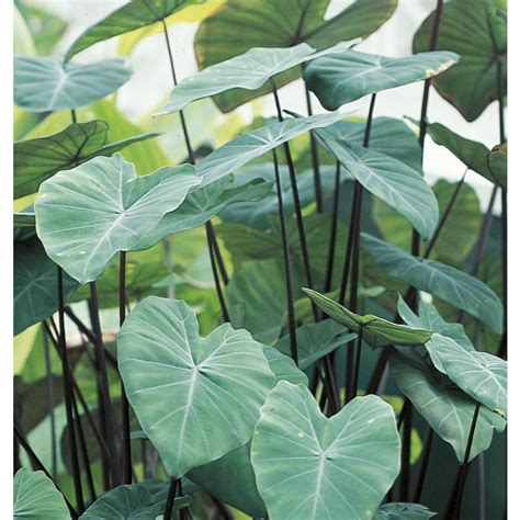 shop 2 25 gallon black stem elephant ear l15376 at lowes com