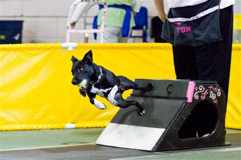 how to your for flyball calling all flyball dogs american kennel club