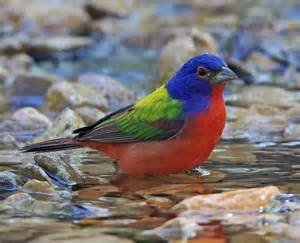 most colorful birds amazing world the most colorful birds on the earth