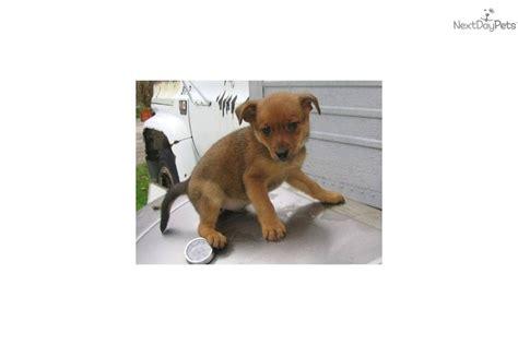 miniature pinscher pomeranian pomeranian miniature pinscher displaced pets rescue pomsky picture breeds picture