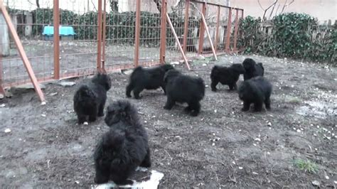 puli puppies for sale ludas matyi puli puppies for sale