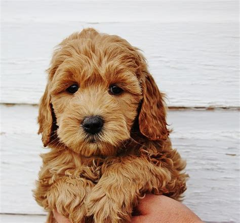 mini goldendoodles new best 25 mini goldendoodle ideas on small
