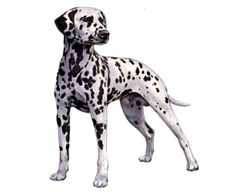 why are dalmatians dogs why are dalmatians considered dogs