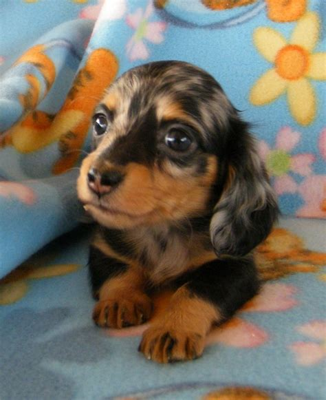teacup wiener the 25 best teacup dachshund ideas on beagle puppies mini beagle and