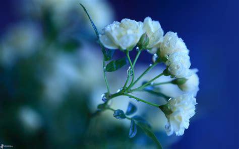 o bianco fiore fiore bianco