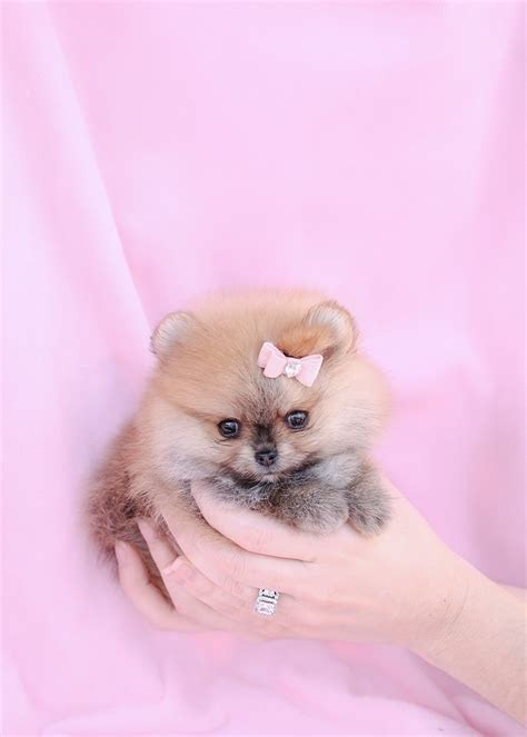 what is a teacup pomeranian teacup pomeranian puppy and pomeranian puppies at teacups puppies of south florida