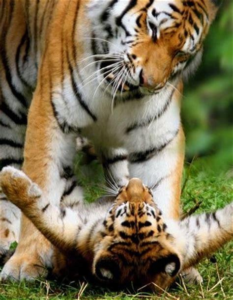 big cat cub photos – national geographic | psyft