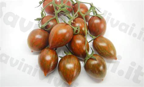 pomodori datterini in vaso piante di pomodoro datterino tigrato melange f1 in vaso 10