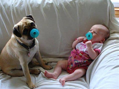 baby and pug pug and baby pugs