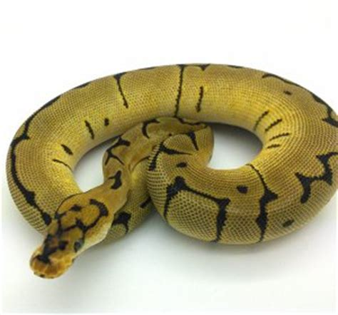 ball python heat l ball python temperature and humidity pythons review