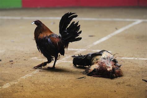 pelea de gallos en la feria de texcoco 2016 gallos de pelea a un solo round vice m 233 xico