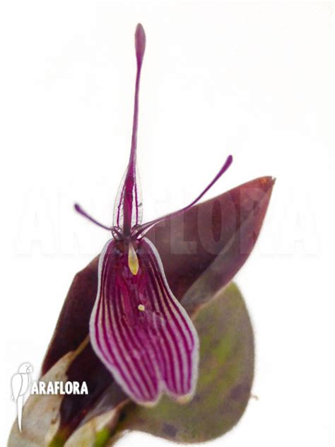 Panci Kalakat 40 Cm Orchid Limited 1 araflora flora more orchid restrepia antennifera