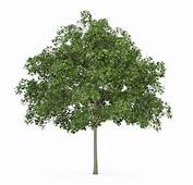 Common Maple 1 Acer Campestre 3D Model C4D  CGTradercom