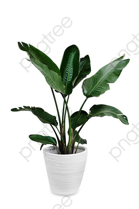 big leaf green potted potted plants green big leaves