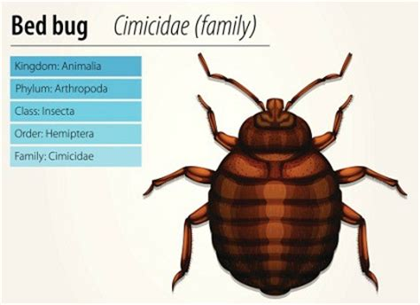 how to get bed bugs off your body pictures of bed bugs debugged