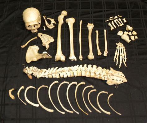 bone room real human skeletons for sale the bone room