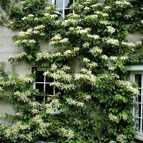 climbing plants for front of house hydrangea seemanii climbing evergreen front yard