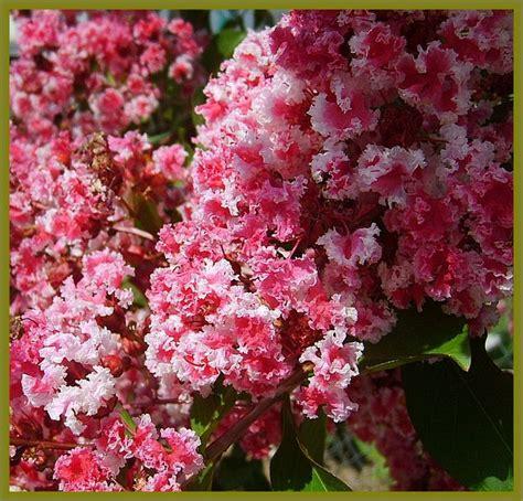 myrtle plant pictures of crape myrtle trees crape myrtle tree bush plant variegated pink peppermint lace