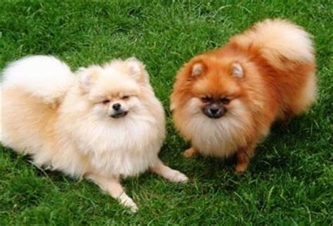 pics of pomeranians pomeranian breed information and pictures